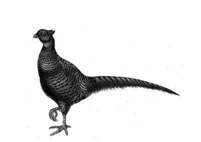 Phasianus colchicus